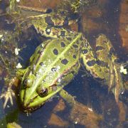 Tritons et salamandres d\'Alsace