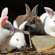 Exposition avicole et régionale de lapins