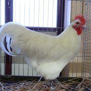Exposition avicole à Soultzmatt