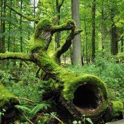 Les forêts du Bialowieza