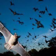 Les chauves-souris, reines de la nuit
