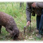 La truffe, de la récolte à l'assiette