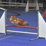 Parcours d\'obstacles canin (Agility) en salle