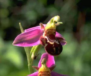 Les Orchidées sauvages des Ballons des Vosges