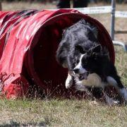 Agility : parcours d\'obstacles pour chien