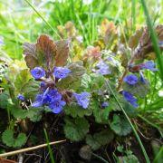 Les plantes selon Hildegarde de Bingen