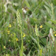 Balade à la découverte des orchidées sauvages du Markstein