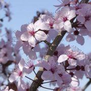 Le cerisier de A à Z