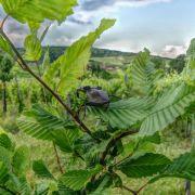 Pieds de vigne et compagnie... à la recherche des petites bêtes