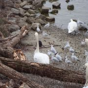 Observation des oiseaux hivernants du Rhin