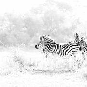 Afrique sauvage, du blanc au noir