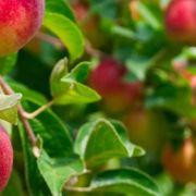 L\'origine des pommes
