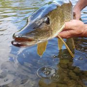Ouverture de la pêche du BROCHET