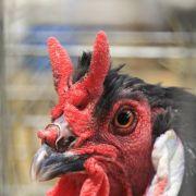 Exposition avicole locale à Waldighoffen
