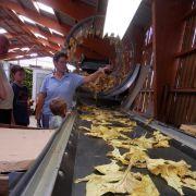De la serre au champ : la culture mécanisée du tabac - visite guidée de la ferme Klein