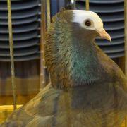 Exposition avicole à Bantzenheim
