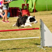 Parcours d\'obstacles canin (Agility)