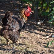 Atelier mon élevage de poules