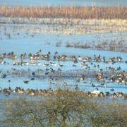 Les oiseaux hivernants, sortie naturaliste à Michelbach