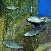 Espèces locales dans mon aquarium