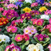 Des fleurs pour lutter contre le cancer