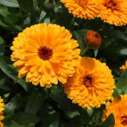 Le pouvoir beauté et bien être des plantes et des fleurs