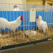 Exposition d\'aviculture