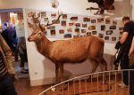 Spécimen de cerf exposé au Musée d\'Histoire Naturelle et d\'Ethnographie de Colmar