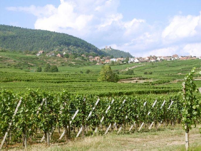 A la rencontre du Sylvaner d\'Alsace
