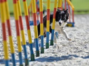 Un chien, un maître et un parcours d\'obstacles, c\'est la recette de l\'agility.