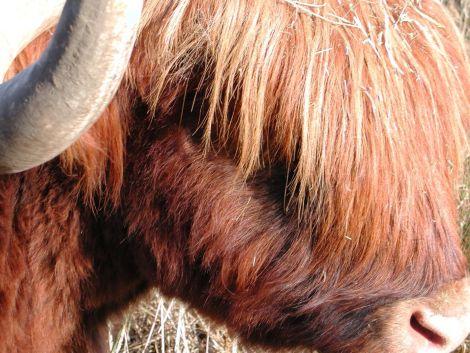 Les vaches Highland