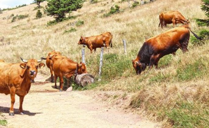 Au milieu des vaches