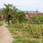 Le sentier des Grands Crus, vue imprenable sur le vignoble alsacien