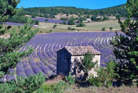 Que la Provence est belle, avec ses fleurs de lavande