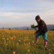 Arnica : le trésor des Vosges