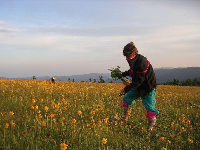 Une cinquantaine de cueilleurs récoltent en moyenne 8 à 9 tonnes de fleurs par an sur les sommets vosgiens