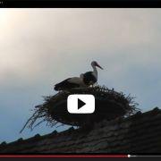 Vidéo : des cigognes au centre ville de Mulhouse !