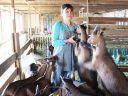 La Chèvrerie du Bambois à Lapoutroie