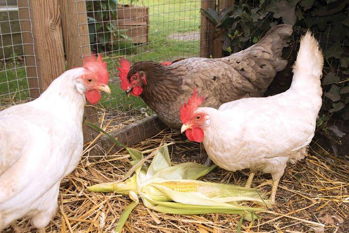 La poule pondra beaucoup d'œufs jusqu'à ses 3 ans, puis diminuera sa production chaque année