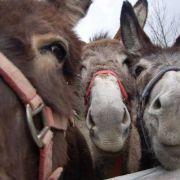 Eselfacht - Fête de l'âne 2021 à Westhalten