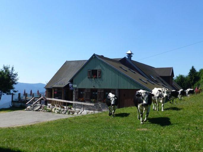La ferme auberge du Gaschney et des belles vaches