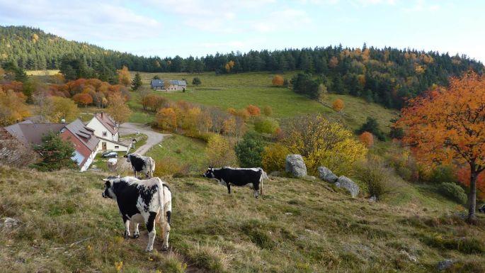 Vue sur la ferme auberge du Glasborn et ses vaches laitières