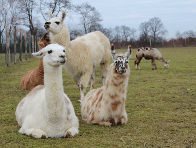 Les lamas, à l\'aise dans la plaine alsacienne