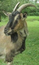 L\'une des chèvres de la Ferme éducative AGF de Rhinau