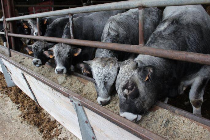 Les bovins prennent entre 1000 et 1800 grammes par jour!