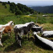 Transhumance d\'automne 2020 dans les Vosges en Alsace