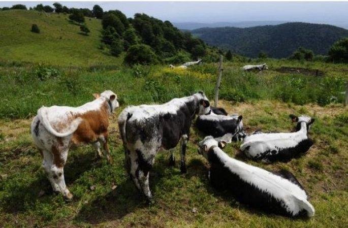 Les vaches vosgiennes redescendent dans la vallée, c\'est la transhumance