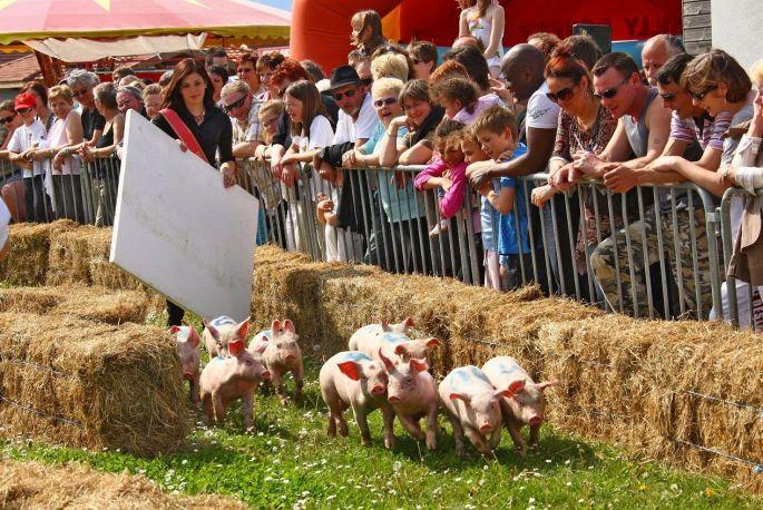 Les cochons, on les fait courir à Ungersheim!