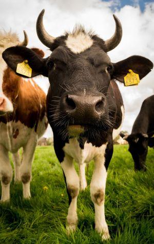 Les vaches et autres animaux de la ferme à l\'honneur à la Fête de l\'élevage de Lunéville