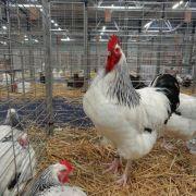 Exposition avicole locale